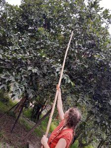 Cosecha de mangos en febrero